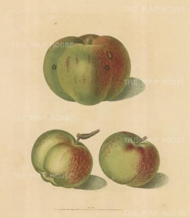 "Brookshaw: Apples. 1817. An original colour antique mixed method engraving. 8"" x 11"". [NATHISp2341]"
