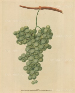 "Brookshaw: Grapes. 1817. An original colour antique mixed method engraving. 8"" x 11"". [NATHISp2342]"