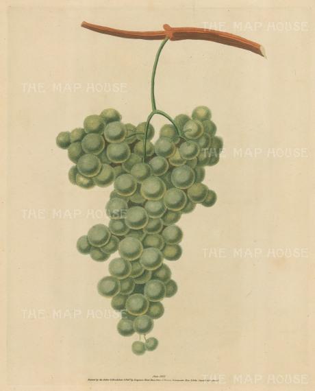 "Brookshaw: Grapes. 1817. An original colour antique mixed method engraving. 8"" x 11"". [NATHISp2342]"