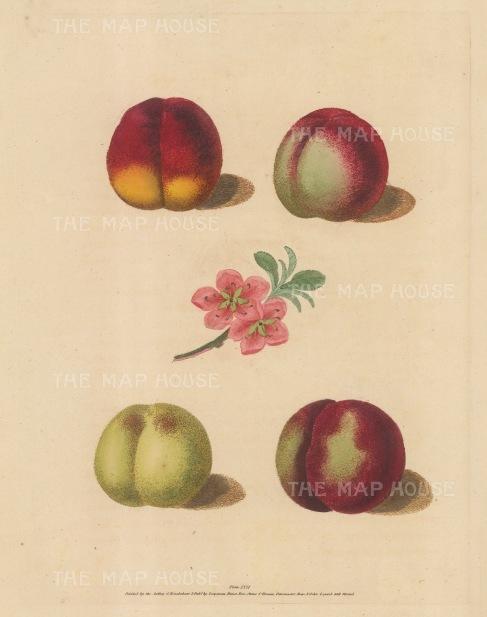 "Brookshaw: Peaches. 1817. An original colour antique mixed method engraving. 8"" x 11"". [NATHISp2350]"