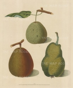 "Brookshaw: Pears. 1817. An original colour antique mixed method engraving. 8"" x 11"". [NATHISp2355]"