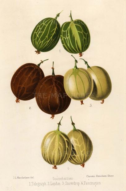 "Fitch: Gooseberries. 1884. An original antique chromolithograph. 7"" x 11"". [NATHISp2529]"