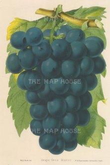 Grapes: Gros Maroc.