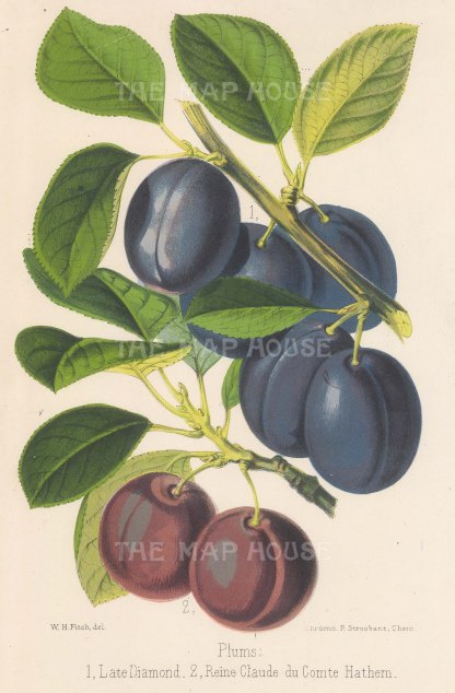 Plum: Late Diamond and Reine Claude du Comte Hathem.