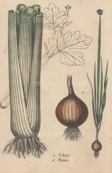 "Anonymous: Celery & Onion. c1870. An hand coloured original antique wood engraving. 7"" x 10"". [NATHISp5365]"