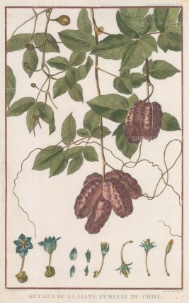 "de la Perouse: Chilli plant. 1797. A hand coloured original antique copper engraving. 10"" x 17"". [NATHISp5830]"