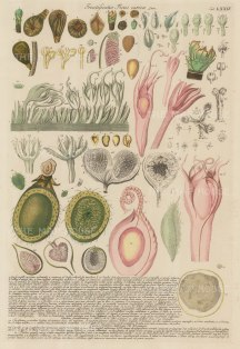 Fig (Ficus caricae): Dissection of the Fruit and seed: With detailed description in Latin.