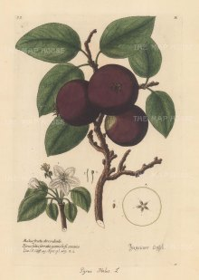 Apple: Gypsy Apple (Pyrus Malus) with detail of blossom and cross-section of fruit.