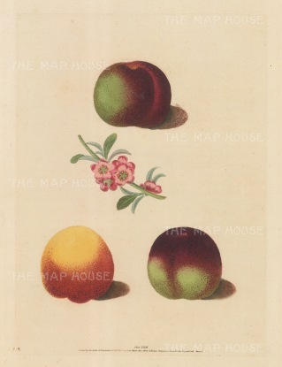 "Brookshaw: Peaches. 1817. An original colour antique mixed method engraving. 9"" x 12"". [NATHISp5896]"