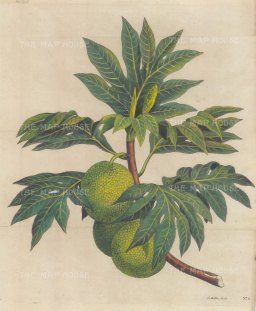 Breadfruit: From Capt James Cook's First Voyage. After Sydney Parkinson.
