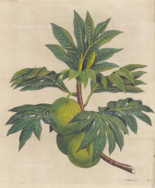 Breadfruit: From Capt James Cook's First Voyage. After Sydney Parkinson.