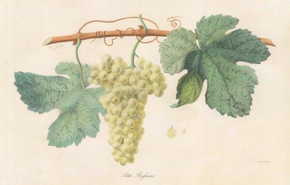 "Grobon: Wine Grapes. 1857. An original hand coloured antique lithograph. 16"" x 11"". [NATHISp6685]"