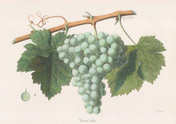 Grenache Blanc grape of the Rhone.