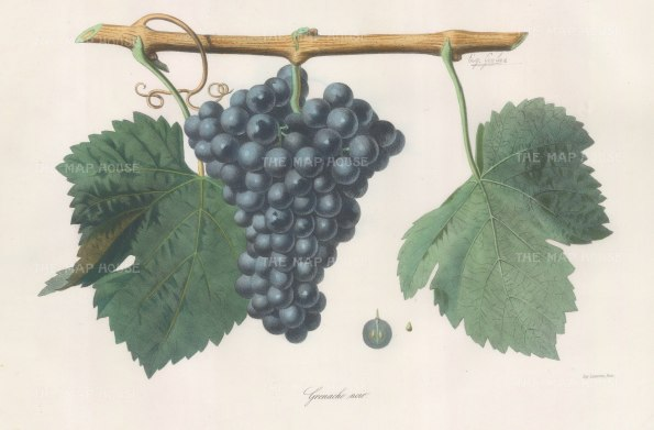Grenache Noir grape of the Rhone.