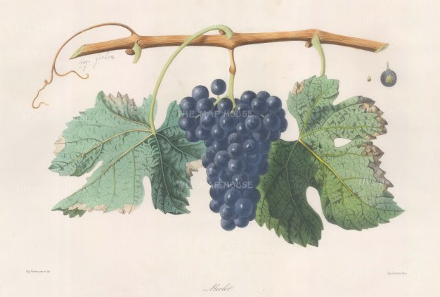 "Grobon: Wine Grapes. 1857. An original hand coloured antique lithograph. 16"" x 11"". [NATHISp6691]"