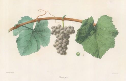 Pineau Gris grape of Alsace.