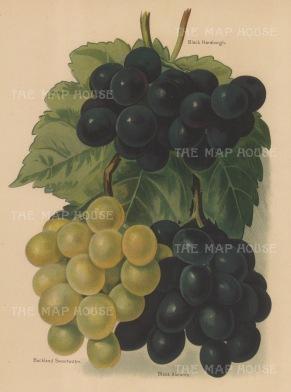 Grapes: Black Hamburg.Black Alicante and Buckland Sweetwater.