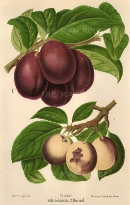 Plums: Belle de Louvain and Boulouf.