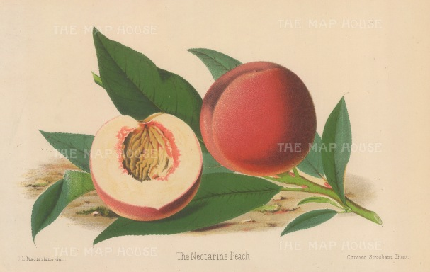 "Fitch: Peach. 1884. An original antique chromolithograph. 11"" x 7"". [NATHISp6911]"