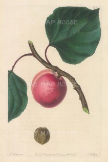 """Withers: Breda Apricot. 1830. A hand coloured original antique steel engraving. 5"""" x 8"""". [NATHISp6920]"""
