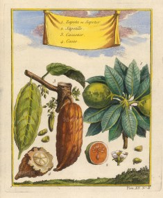 Cocoa and Naseberry (Manilkara zapota)