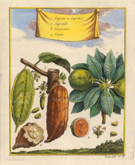 Cocoa and Naseberry (Manilkara zapota)