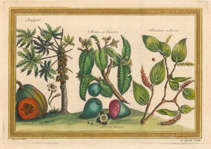 Papaya and Guava: Trees and fruit with a flowering Pepper.