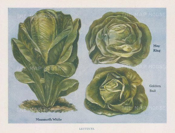 Lettuces: Mammoth White, May King and Golden Ball.