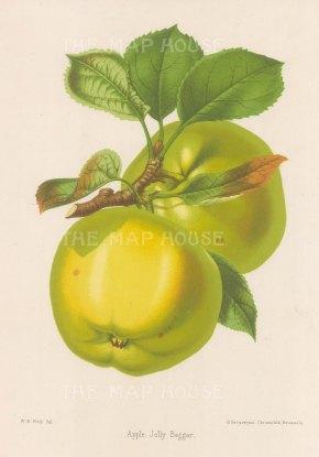 "Fitch: Jolly Begger Apple. 1884. An original antique copper engraving. 7"" x 11"". [NATHISp7251]"