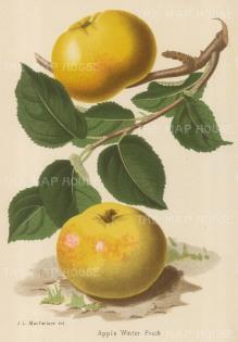 Apple: Winter Peach variety.