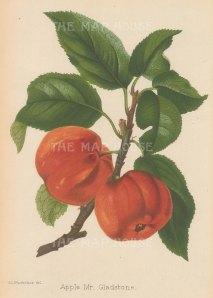 "Fitch: Mr Gladstone Apple. 1884. An original antique chromolithograph. 7"" x 11"". [NATHISp7253]"