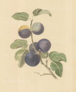 "Brookshaw: Plums. c1817. An original colour mixed method engraving. 9"" x 12"". [NATHISp7257]"