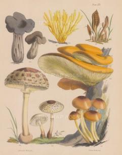 Helvelia, Clavaria, Geoglossum and four varieties of Agaricus.