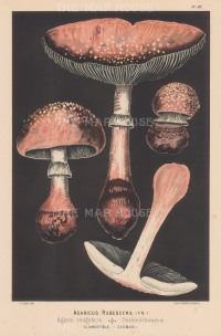 Agaricus Rubescens (Blusher mushroom). Edible.