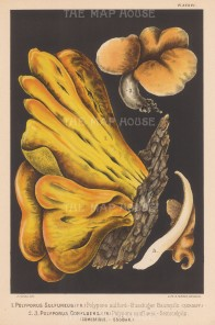 Polyporus Sulfureus (Crab of the Woods), and Polyporus Confluens (Ningyotake) Edible.