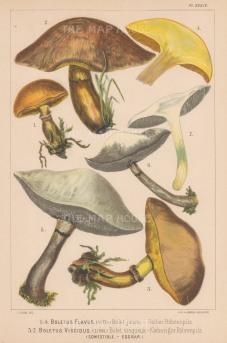 Boletus Flavus (Greville's Bolete) and Boletus Viscidus (Sticky Boletus). Edible.
