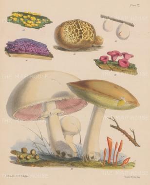 Dacrymyces, Reticularia, Scleroderma, Tremella, Bulgaria, Agaricus and Boletus.