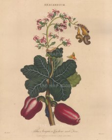 "Wilkes: Cashew Nut Tree. 1810. An original hand coloured antique copper engraving. 8"" x 11"". [NATHISp7795]"