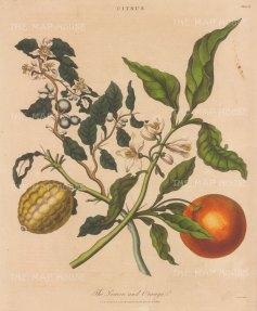 "Wilkes: Lemon & Orange. 1810. An original hand coloured antique copper engraving. 8"" x 11"". [NATHISp7797]"