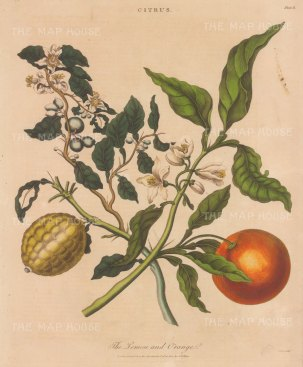 "Wilkes: Lemon & Orange. 1810. An original hand coloured antique copper engraving. 8"" x 11"". [NATHISp7797]"