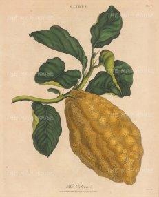 "Wilkes: Citron Medica. 1810. An original hand coloured antique copper engraving. 8"" x 10"". [NATHISp7799]"