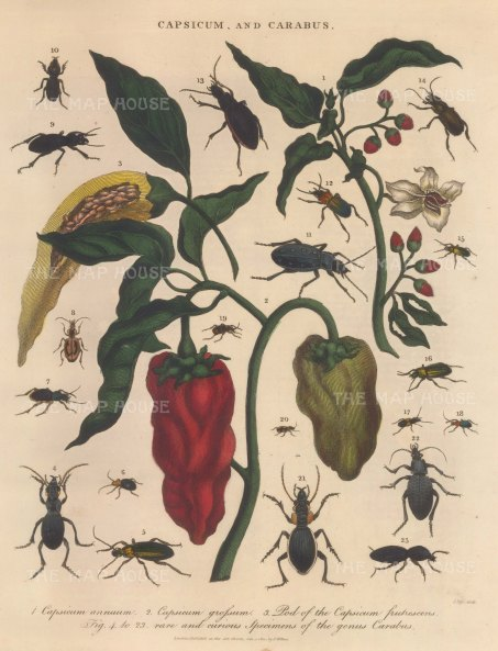 delete Sweet and Bell peppers (Capsicum annuum and grossum. With 19 specimens of Carabus beetles.