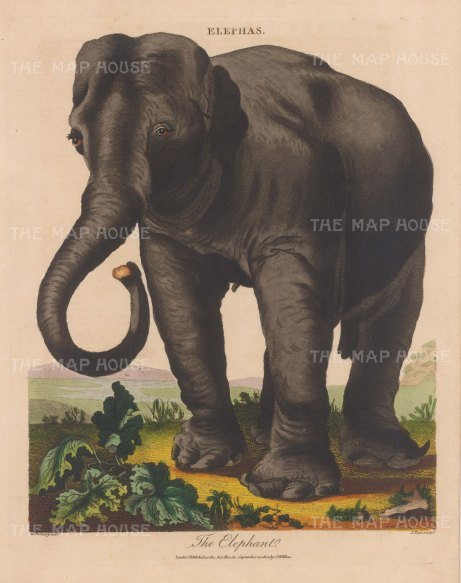 Indian elephant.Engraved by John Pass.