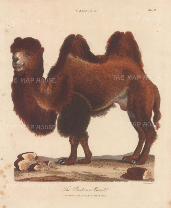 Camel: Bactrian Camel. Engraved by John Chapman.