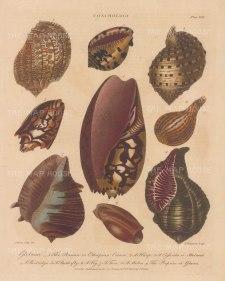 Globusae: Persian Crown, Harp, Helmut, Partridge, Butterfly, Fig, Tun, Melon and Prepuce mollusc shells. After Albertus Seba, engraved by John Pass.