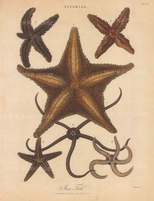 Star Fish (Asterias): Five specimens. Engraved by John Pass.