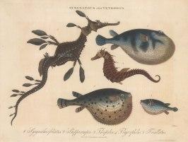 Sea Dragon (S. Foliatus) and Sea horse (S. Hippocampus): With three Pufferfish (Tetradon). Engraved by John Pass.