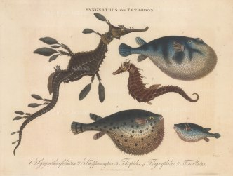 Sea Dragon (S. Foliatus) and Sea horse (S. Hippocampus): With three Pufferfish (Tetradon). Engraved by John Pass.