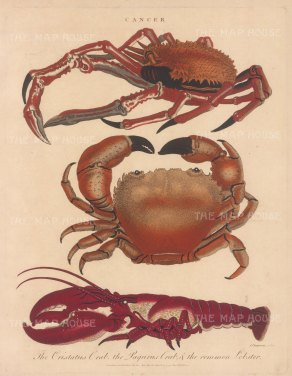 Crustaceans: Cristatus Crab, Paurus Crab and Common Lobster. Engraved after John Pass.