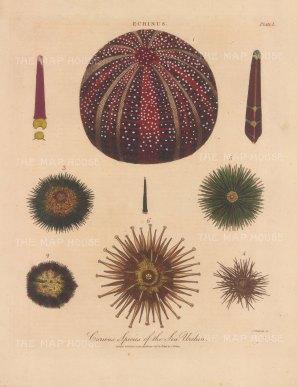 1. Echinus esculentus, 2. E.. sphera 3. E. draebachiensus 4, E. miliaris 5.E.Batteri, 6. E. hemisphericus, 7. E. angulosus and 8. E. excavatus.